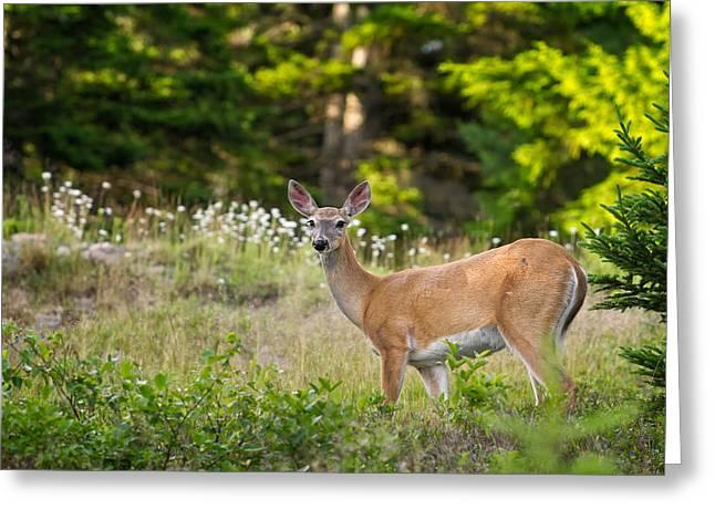 Whitetail Doe Cadillac Mountain Acadia Np Greeting Card by Jeff Sinon