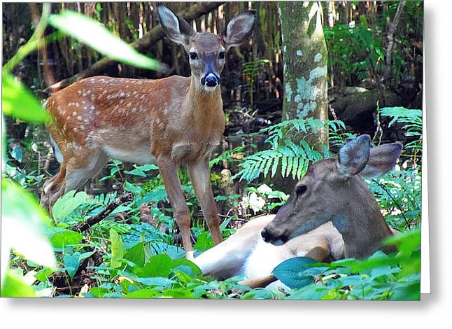 Whitetail Fawn 013 Greeting Card
