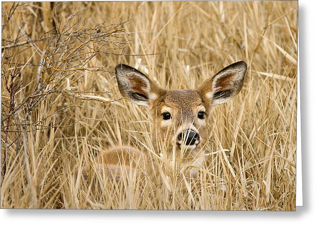 Whitetail In Weeds Greeting Card