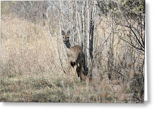 Whitetail Undercover Greeting Card by Lori Tordsen