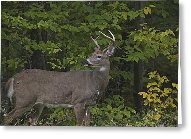 Whitetall Deer Greeting Card