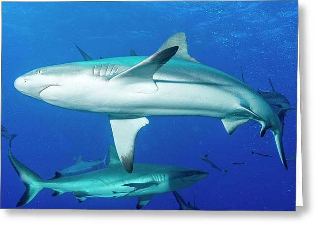 Whitetip Reef Sharks Over A Reef Greeting Card