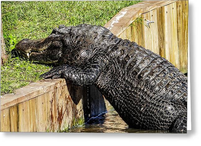 Who Said Gators Can't Climb Greeting Card by Dennis Dugan