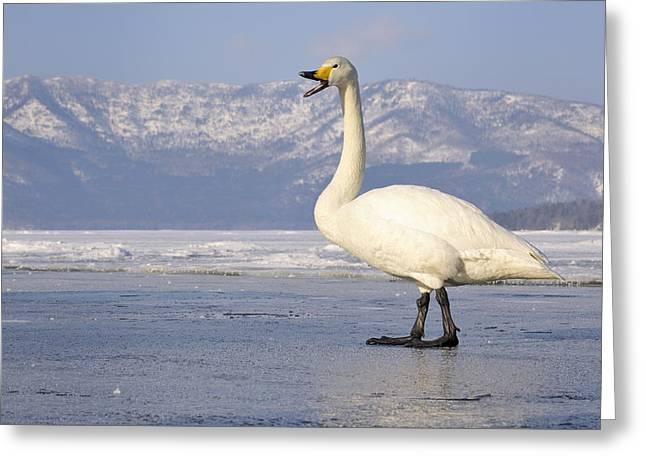 Whooper Swan Calling Hokkaido Japan Greeting Card