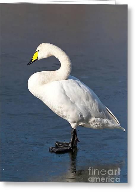 Whooper Swan Greeting Card by Don De la Rambelje
