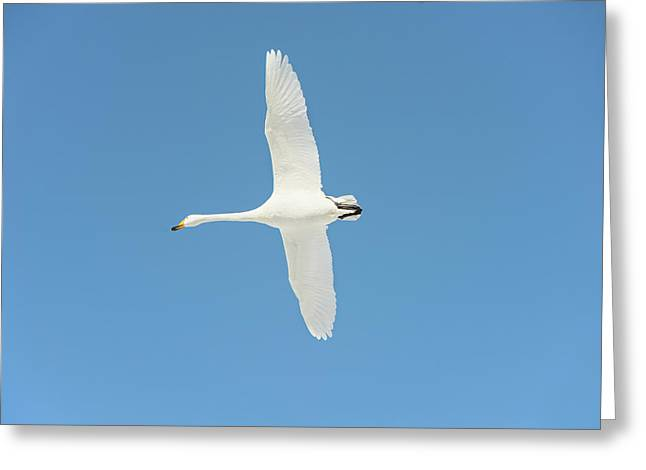 Whooper Swan In Flight Greeting Card by Dr P. Marazzi