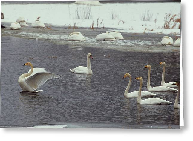 Whooper Swans, Cygnus Cygnus, In Order Greeting Card