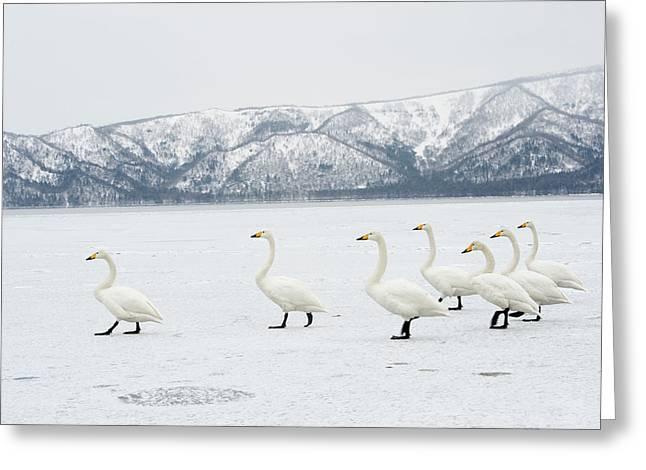 Whooper Swans Greeting Card