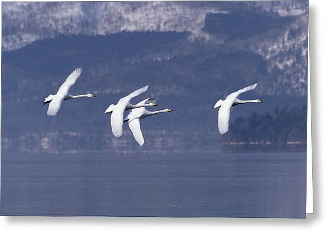 Whooper Swans Flying Hokkaido Japan Greeting Card by Konrad Wothe