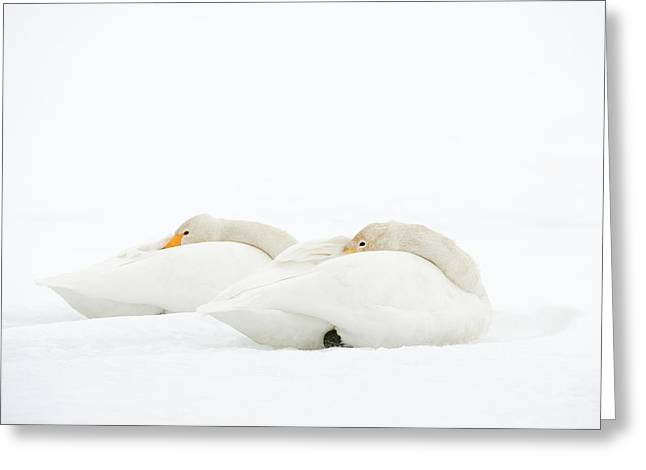 Whooper Swans Resting On Snow Greeting Card by Dr P. Marazzi