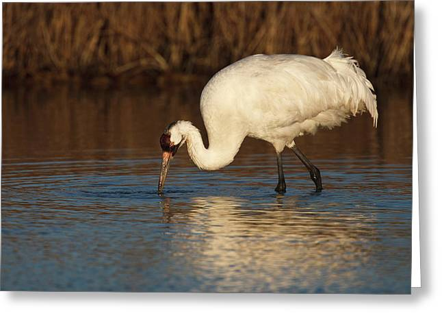 Whooping Crane (grus Americana Greeting Card by Larry Ditto