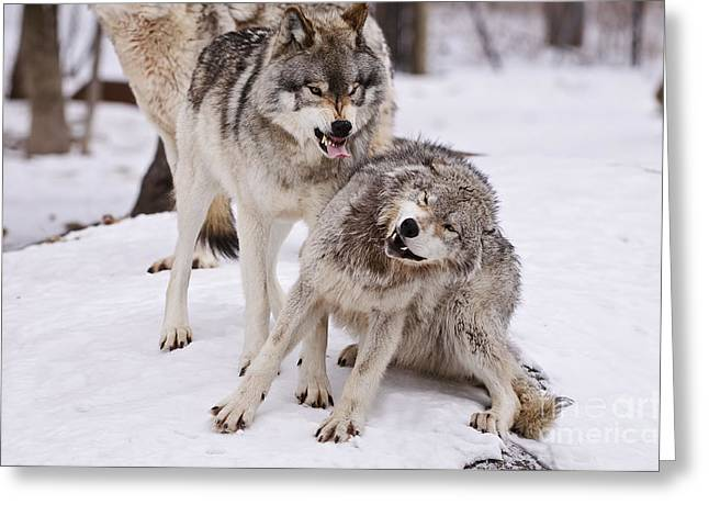 Greeting Card featuring the photograph Who's The Boss by Wolves Only