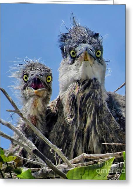 Wide Eyed Baby Herons Greeting Card