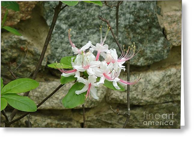 Wild Azalea Greeting Card by Katie Spicuzza