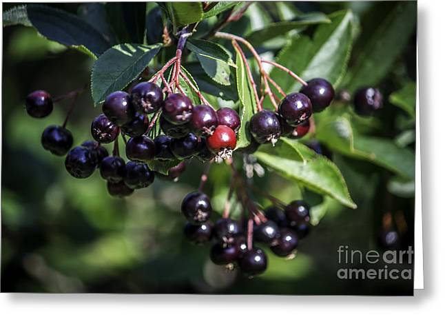 Wild Berries Greeting Card