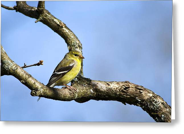 Wild Birds - American Goldfinch Greeting Card