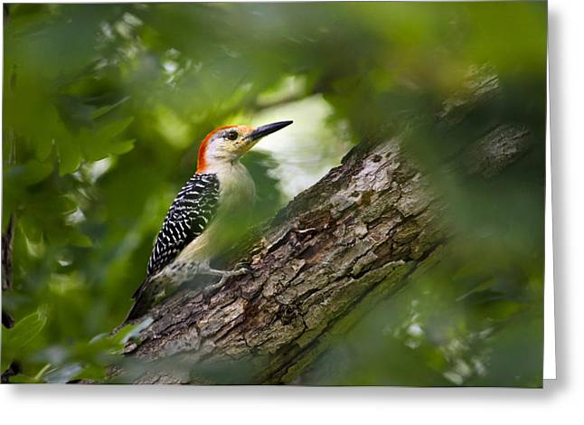 Red Bellied Woodpecker Greeting Card by Christina Rollo