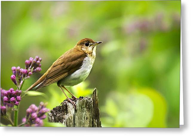 Wild Birds - Veery Square Greeting Card by Christina Rollo
