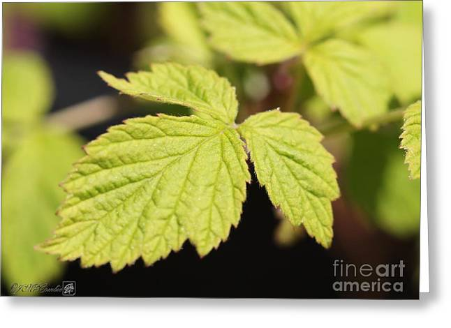 Wild Black Raspberry Leaves Greeting Card by J McCombie