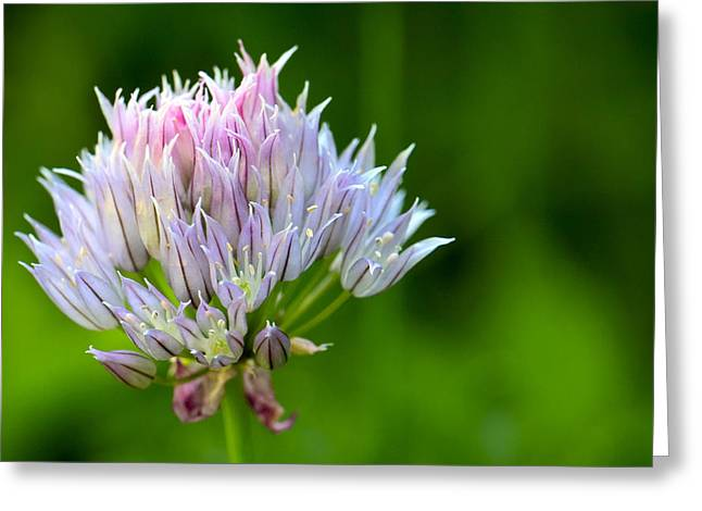 Wild Blue - Chive Blossom Greeting Card by Adam Romanowicz