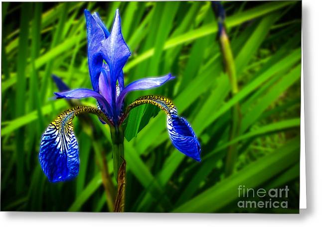 Wild Blue Iris Greeting Card by Robert Bales