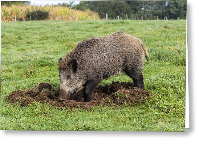 Wild Boar Feeding Greeting Card by M. Watson