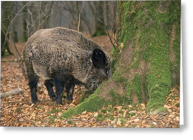 Wild Boar Greeting Card by M. Watson