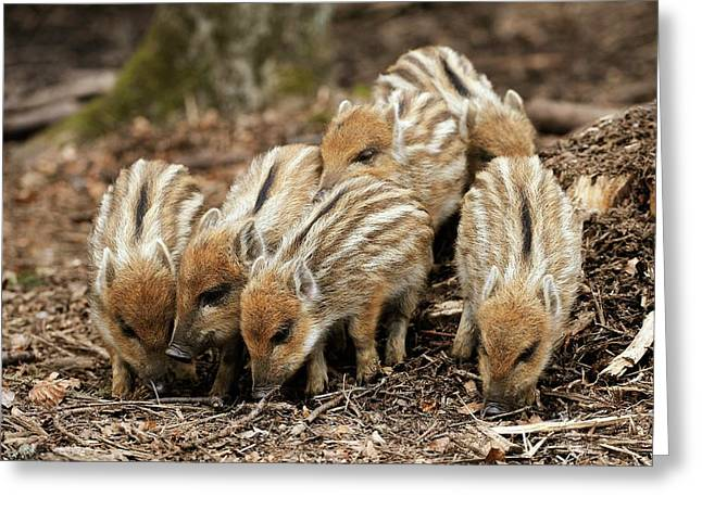 Wild Boars Piglets Greeting Card