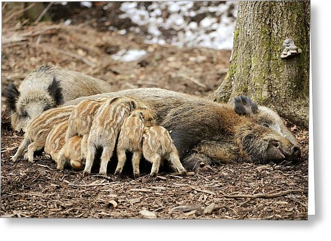 Wild Boars Suckling Greeting Card