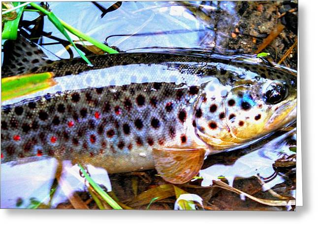 Wild Brown Trout Halos Greeting Card