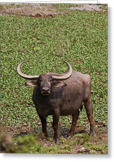 Wild Buffalo Near Water Body, Kaziranga Greeting Card