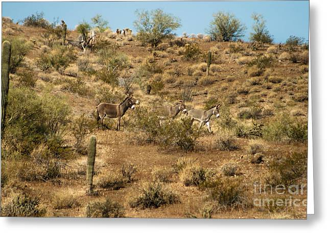 Wild Burros Greeting Card by Robert Bales