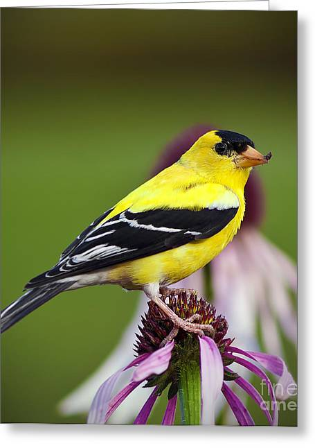 Wild Canary Bird Greeting Card