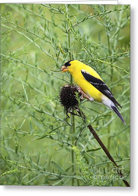Wild Canary Bird Closeup Greeting Card