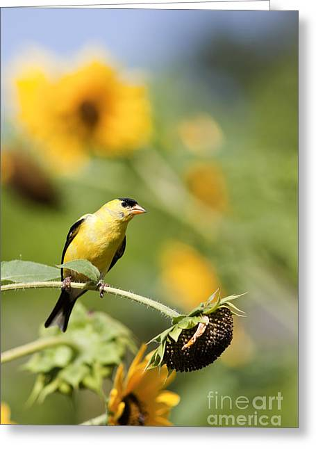Wild Canary Bird Closeup In A Field Of Sunflowers Greeting Card