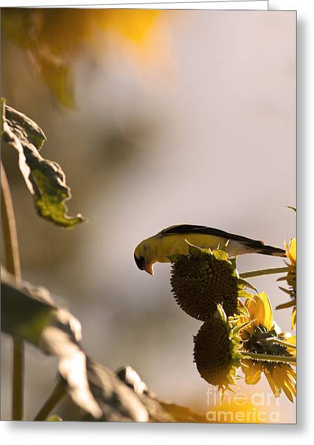 Wild Canary Bird Eating Seeds From Sunflowers Greeting Card