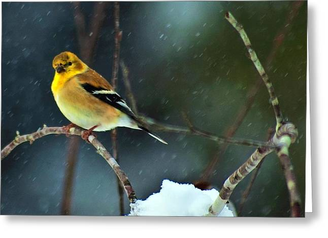 Greeting Card featuring the photograph Wild Canary by John Harding