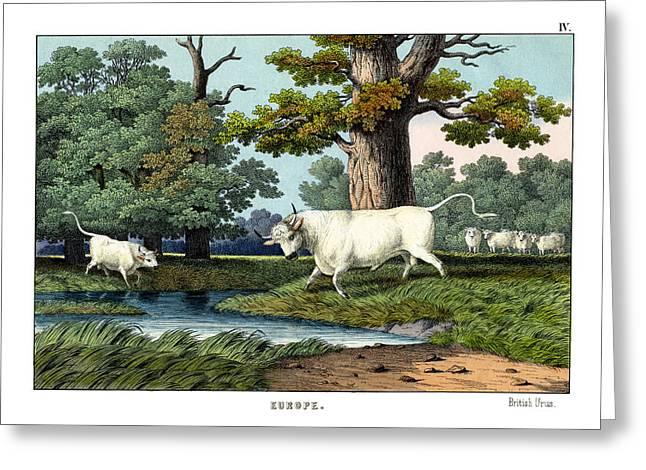 Wild Cattle Of Britain Greeting Card by Splendid Art Prints