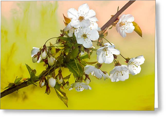 Wild Cherry Blossom Cluster Greeting Card by Jane McIlroy