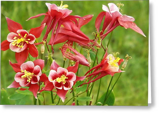 Wild Columbine 2 Greeting Card