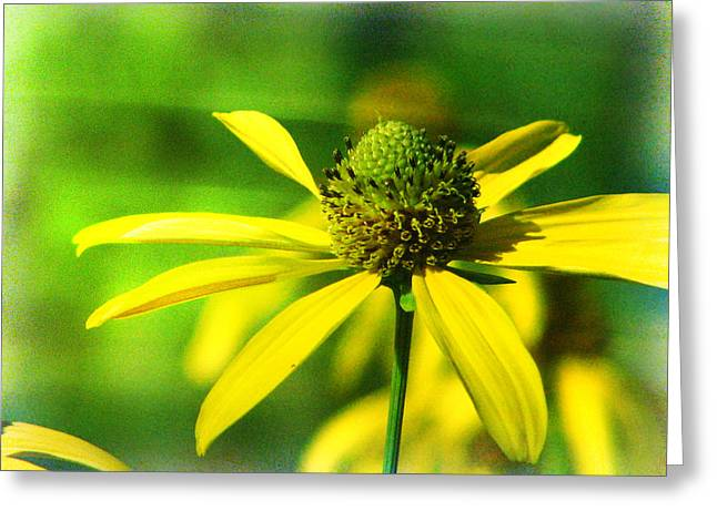 Wild Coneflower Secret Meadow Sandia Mountains Albuquerque New Mexico Greeting Card