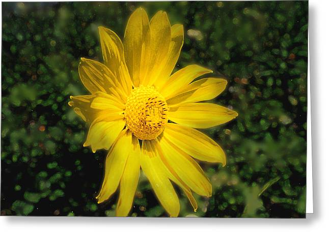 Wild Daisy Greeting Card