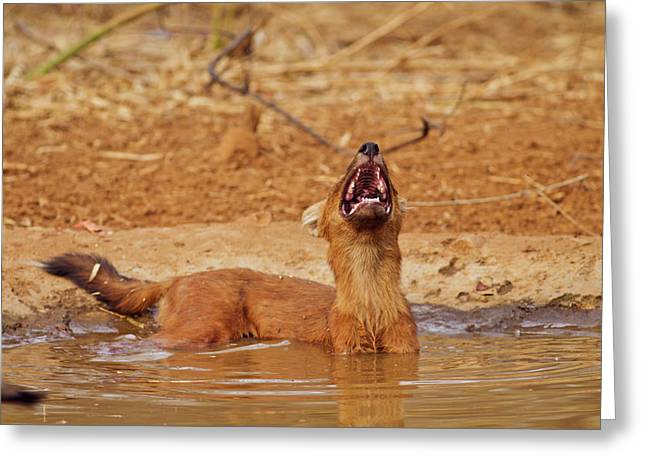 Wild Dog Catching The Scent, Tadoba Greeting Card by Jagdeep Rajput
