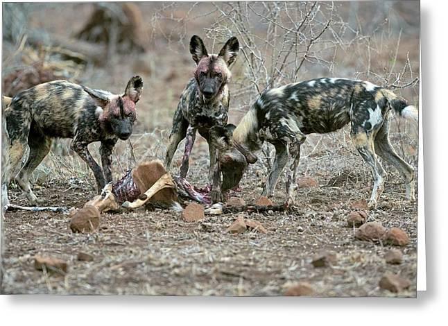 Wild Dogs Feeding On An Impala Carcass Greeting Card