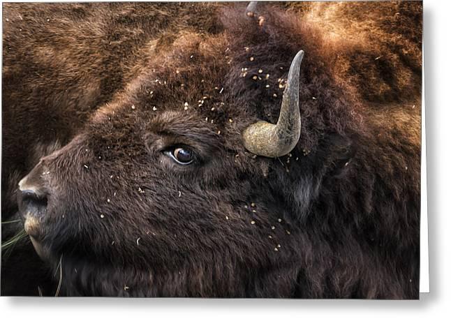 Wild Eye - Bison - Yellowstone Greeting Card