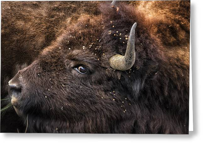 Greeting Card featuring the photograph Wild Eye - Bison - Yellowstone by Belinda Greb
