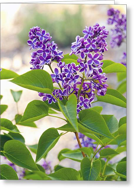 Wild Florwers - Lake Tahoe Greeting Card by Harold E McCray