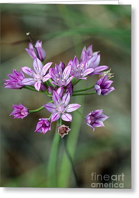 Wild Garlic - Allium Drummondii Greeting Card by Susan Schroeder