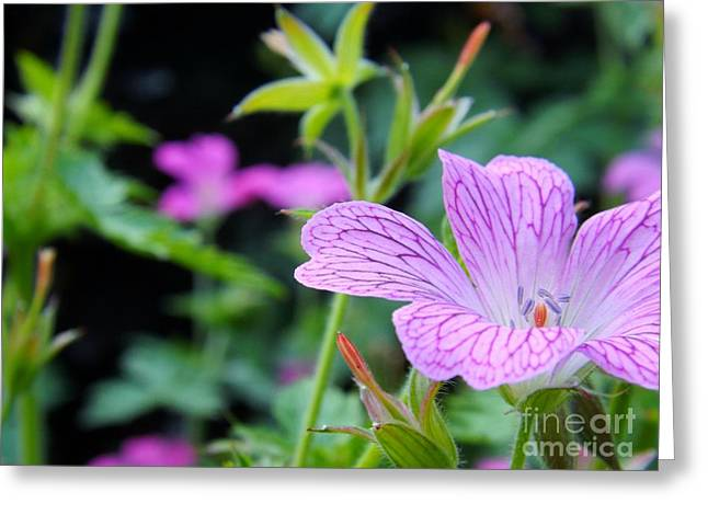 Wild Geranium Flowers Greeting Card by Clare Bevan