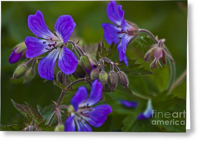 Wild Geranium Greeting Card by Heiko Koehrer-Wagner